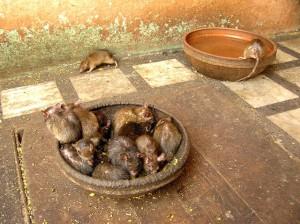 Święte szczury