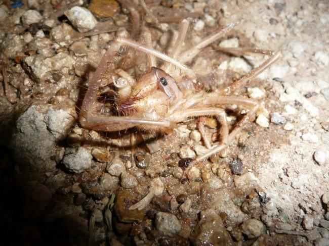 Pustynny pająk