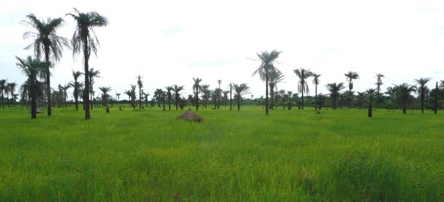 Afrykańskie pola ryżowe