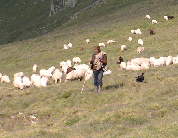 pasterz na wypasie