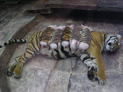 tygrys i świnki
