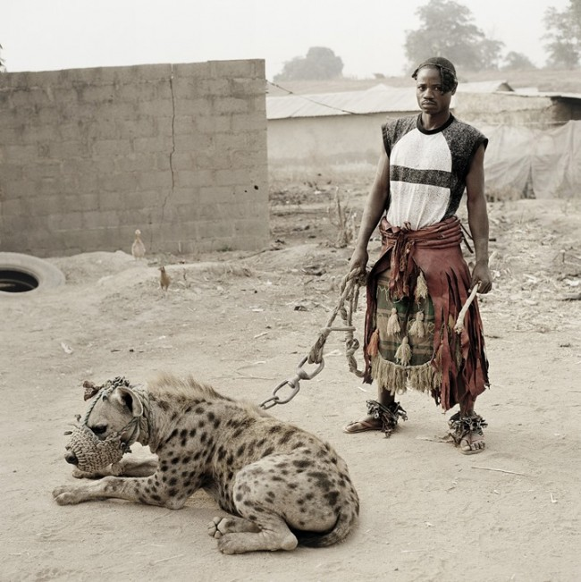 hiena na smyczy